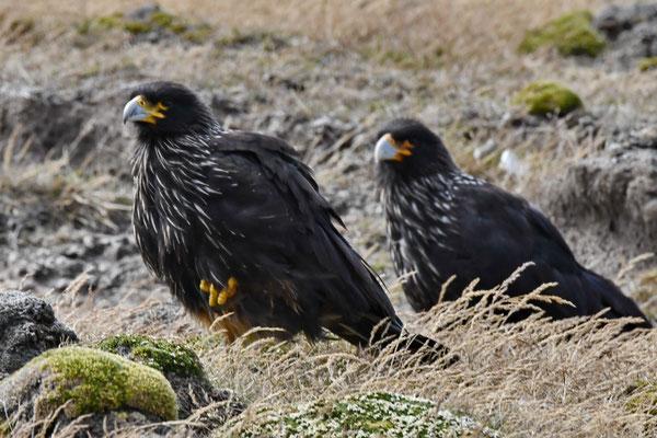 Falkland caracara