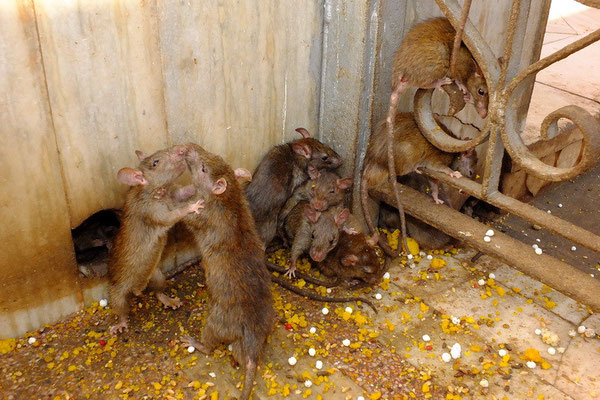 Ratten in de Karni Mata tempel in Deshnok