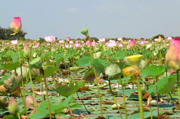 Lotusvijver