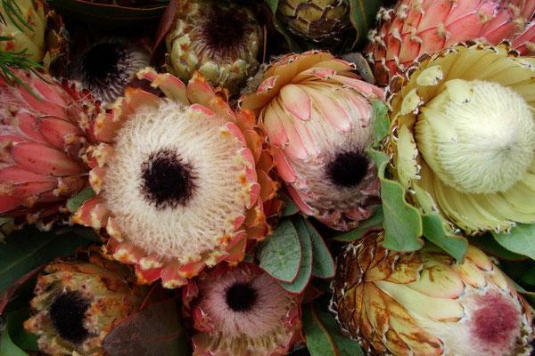 Protea; de nationale bloem van Zuid Afrika