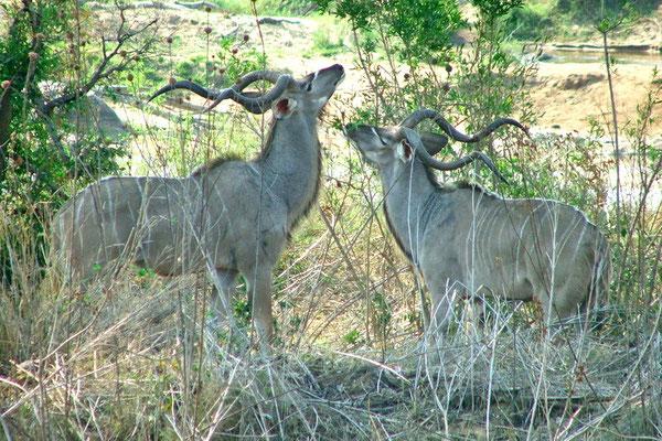 Kudu mannetjes