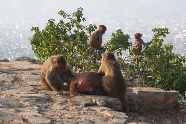 Makaken boven Jaipur