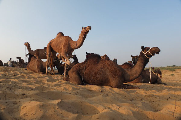 Camelfair in Pushkar