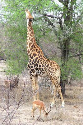 Giraf en impala