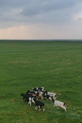 Buitendijkse jonge koeien