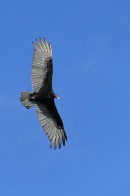 Kalkoengier in volle vlucht