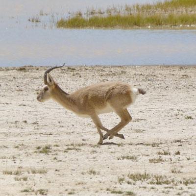 Een Tibetaanse antilope (Chiroe)