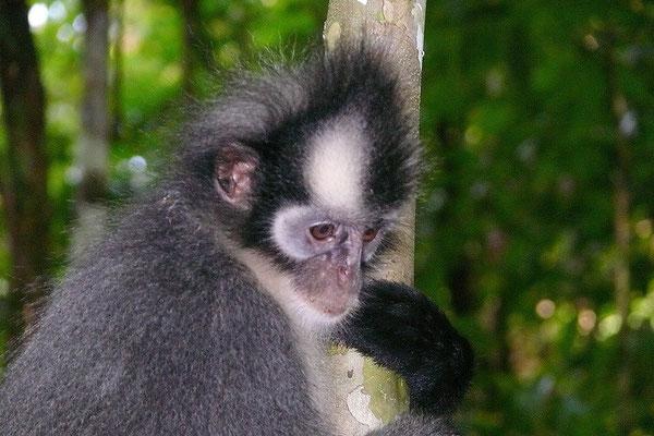 Tomas Leaf monkey