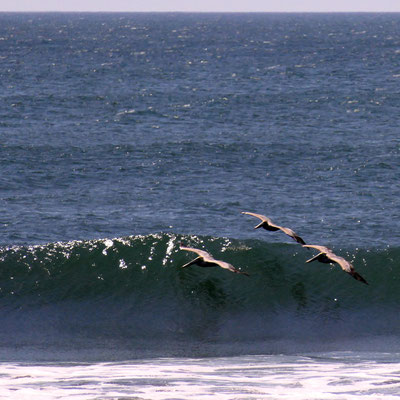Pelikanen scheren over de Grote oceaan.