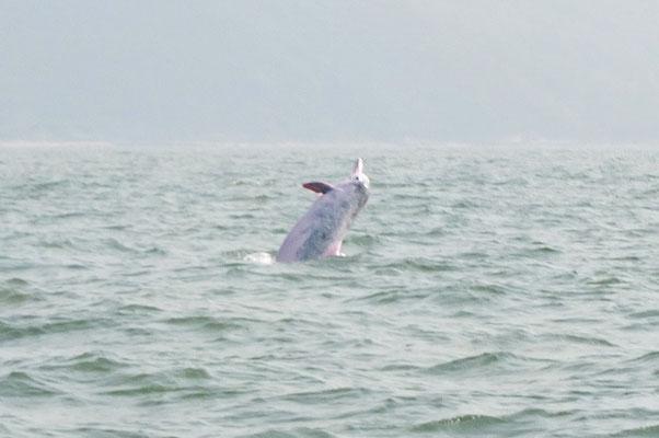 Witte dolfijn bij Tai O