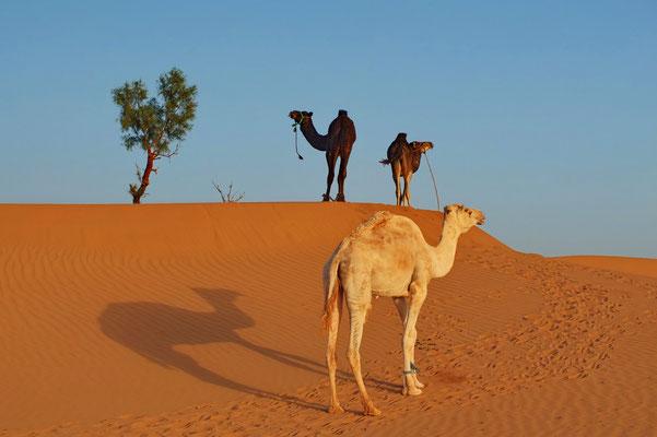 Dromedarissen in de Sahara