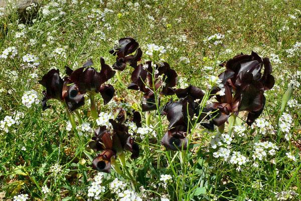 Zwarte Irissen, een zeldzaam verschijnsel.