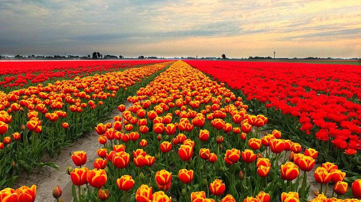 Tulpenveld in de polder boven Uithuizermeeden