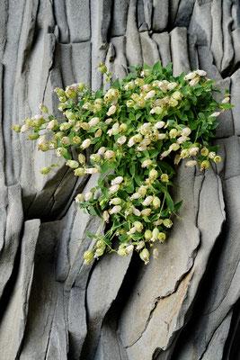Bloemen (Silene uniflora) groeit uit de gestolde lava