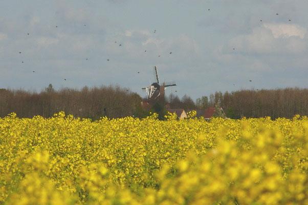 Koolzaadveld ten westen van Usquert. De zwarte puntjes zijn bijen die de bloemetjes moeten bestuiven