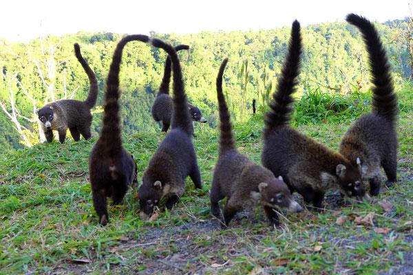 Coati's oftewel neusberen. Familie van de wasbeer