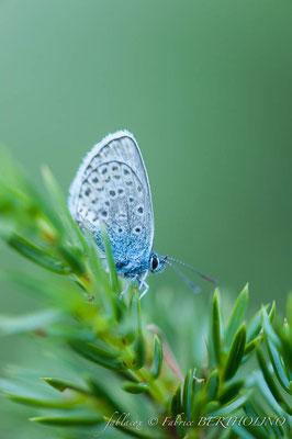 Papillon 'Azuré' (65 Cirque Estaubé 2013-08)