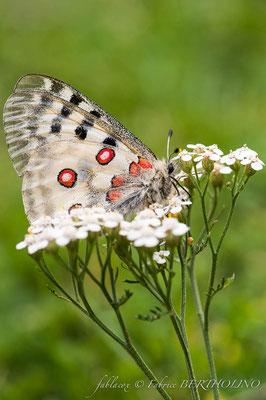 Papillon 'Apollon' (65 Cirque de Gavarnie 2013-08)