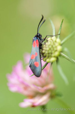 Papillon 'Zygène' sur chardon bleu (65 Cirque de Gavarnie 2013-08)