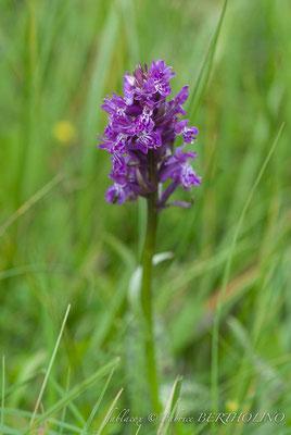 orchidée en cours d'identification