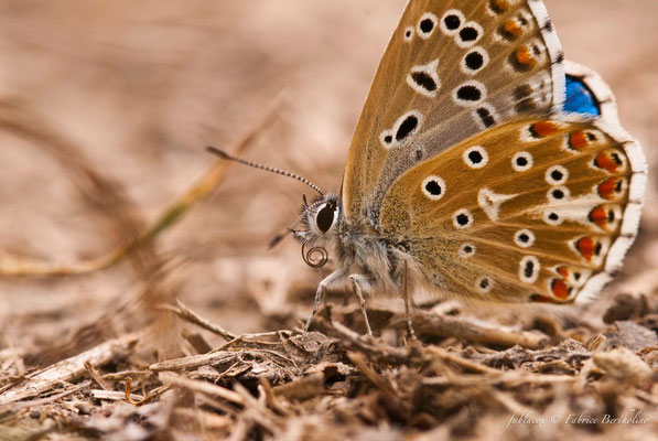 Papillon 'Azuré' (37 St Épain 2009-08)