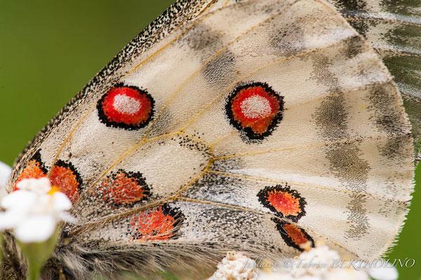 Papillon 'Apollon' détail (65 Cirque de Gavarnie 2013-08)