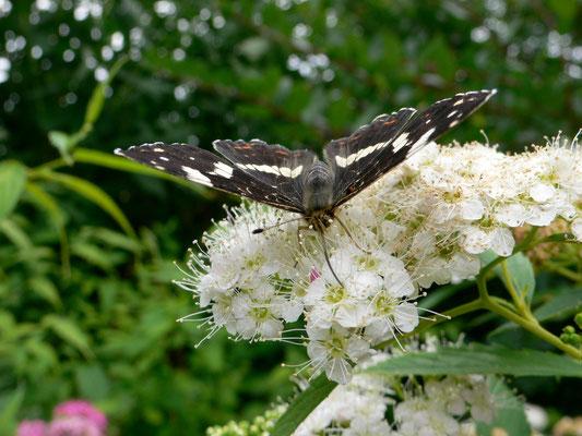 Le Petit Sylvain-Limenitis camilla (45 Sandillon jardin perso)