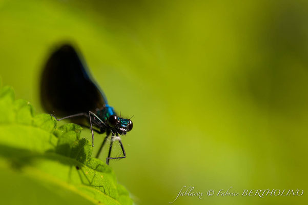 Calopteryx splendens - libellule bleu (37 St Épain 2009-08)