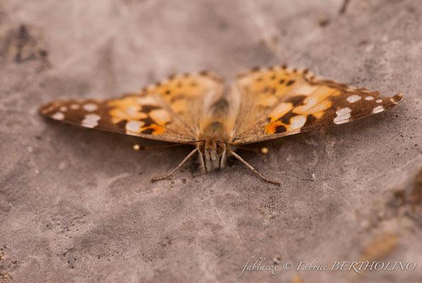 en cours d'identification (papillon de jour)