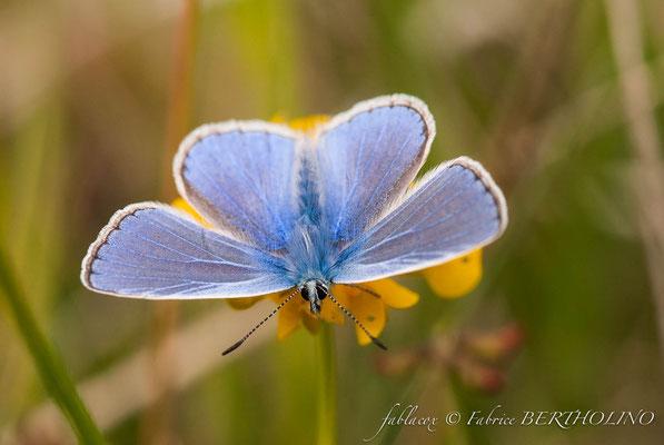 Papillon Azuré (45 - sortie orchidophile du Loiret 2010-05) après un stage macro chez LB