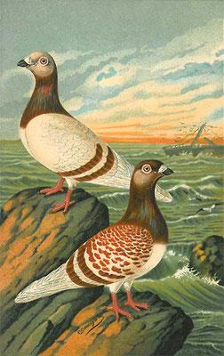"""""""Antwerpener Brieftaube"""" von Jean Bungartz aus """"Der Brieftaubensport"""", 1889."""