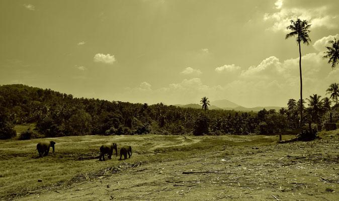 Im Elefanten Waisenhaus von Pinnawela auf Sri Lanka.