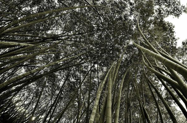 Der Bambus in Sri Lanka wird einfach Gigantisch Groß