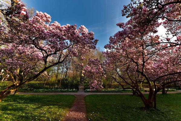 """Jedes Jahr im Mai kommt es zu einer wahren Blütenpracht der Magnolienbäume im """" Schöntalpark """""""