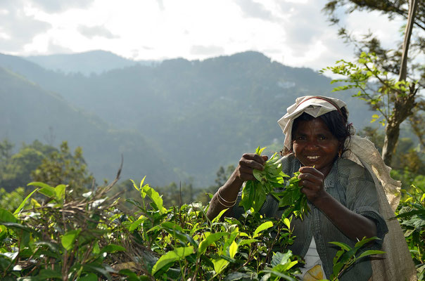 Eine Teepflückerin bei der Arbeit, dies sind meist Thamilen, deren Vorfahren schon in der Kolonialzeit von den Briten von Indien nach Sri Lanka gebracht wurden.