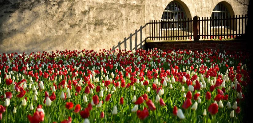 """Jedes Jahr erblüht im Mai im """" Klostergarten """" ein Meer aus Roten und Weißen Tulpen."""