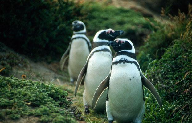 Am Seno Ottway waren wir bei einer Pinguinkolonie, einfach putzig die Magellan-Pinguine