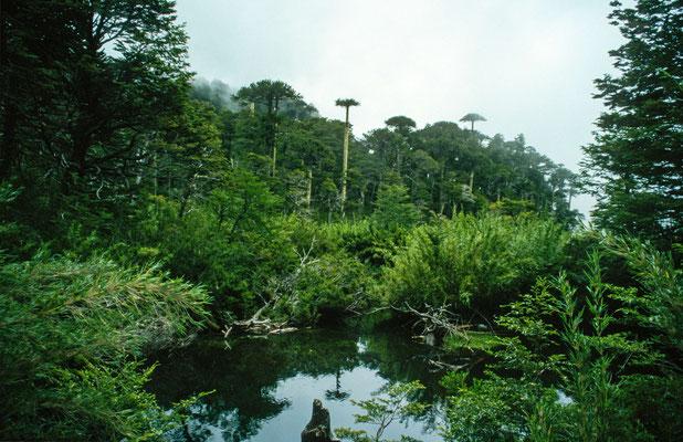 """Auf gings zur nächsten Trekking Tour in den N.P. """"Huequehue"""". Man Wandert dabei dabei durch eine urtümliche Landschaft die von den Araukarien dominiert wird."""