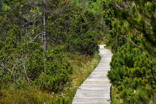 Über einen Holzweg geht es durch das empfindliche Moos.