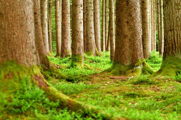Im Nadelwald herrscht eine ruhige Atmosphäre.