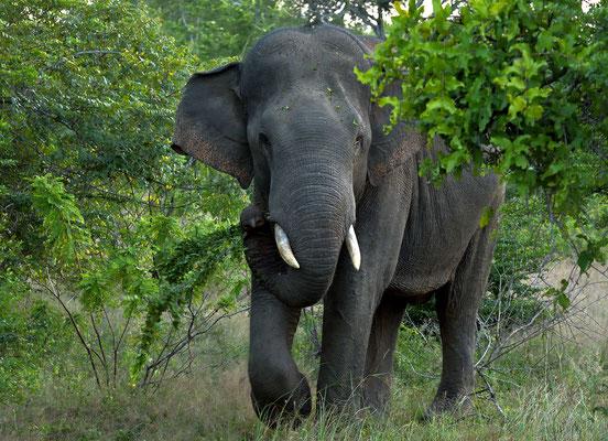 Und doch noch gesehen auf der Safari, ein wilder Elefant im Yala National Park