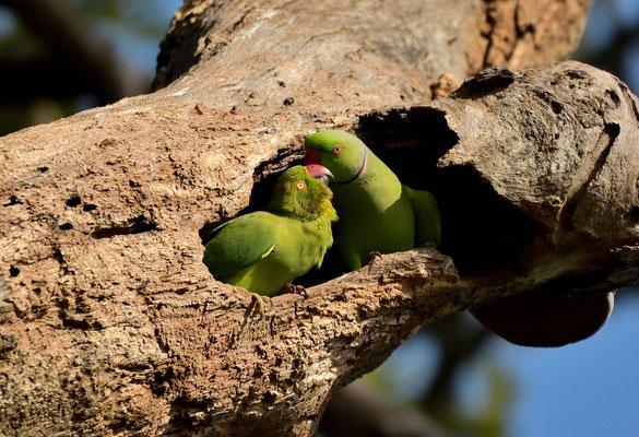 Turtel papagaien