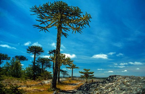 """Wir fuhren zum N.P."""" Nahuelbuta"""". Auch diese Landschaft wird von der Araukarie dominiert und von durch Flechten bewachsene Bäume ."""