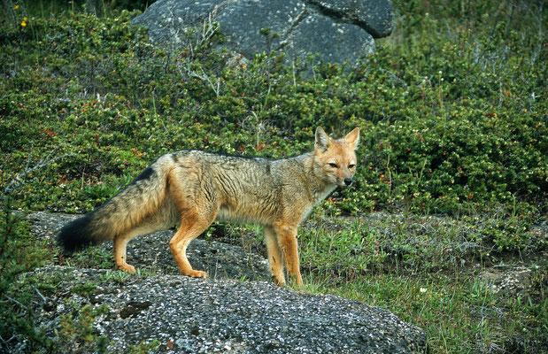 Am nächsten Tag begannen wir unsere Umrundung des Torres del Paine N.P. Gleich am Anfang begleitete unser dieser noch Junge Fuchs.