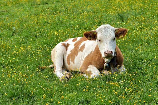 Bayerische Kuh-Gemütlichkeit