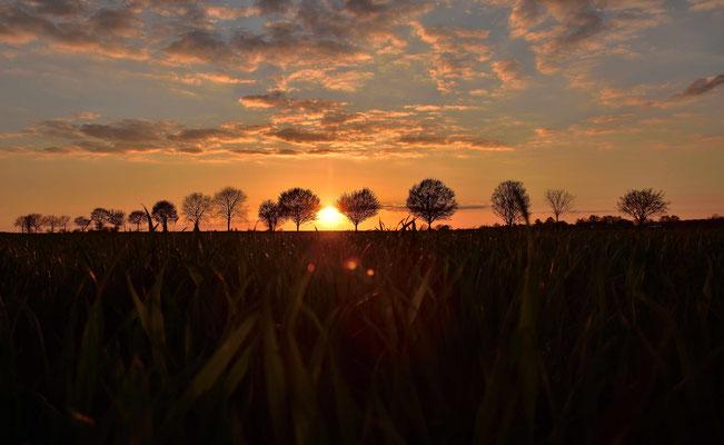 Sonnenuntergang hinter einer Baumallee im Feld von Rodgau