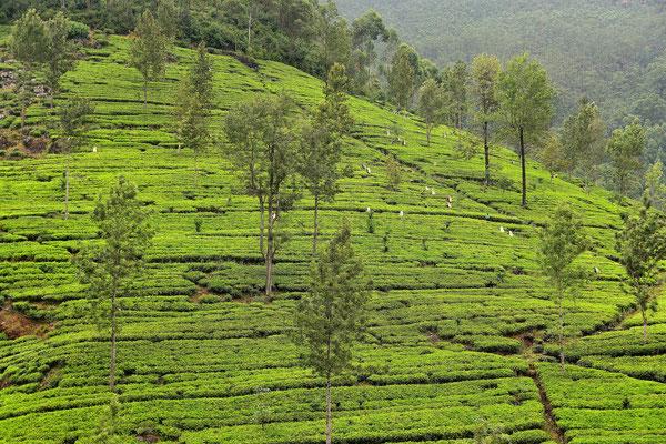Teeplantage bei Delhousie. Alle drei Tage müssen die Blätter gepflückt werden für die beste Qualität.