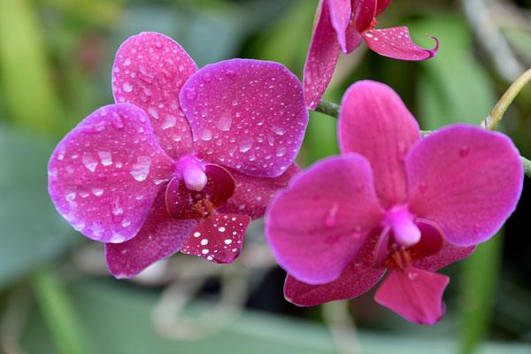 Farbenprächtige Phallenopsis Orchideen
