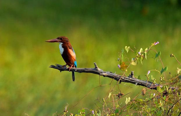 Ein Kingfisher auf der Lauer
