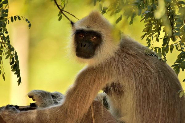 Ein Hanuman-Langur